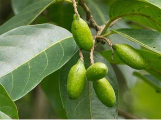 Харитаки - растение, крадущее все болезни!